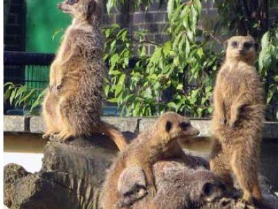 Meerkat communities matter