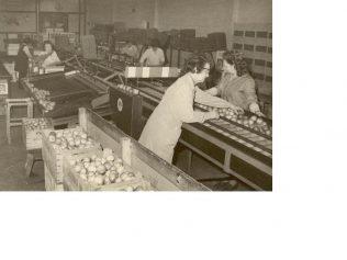 Apple grading 1950s