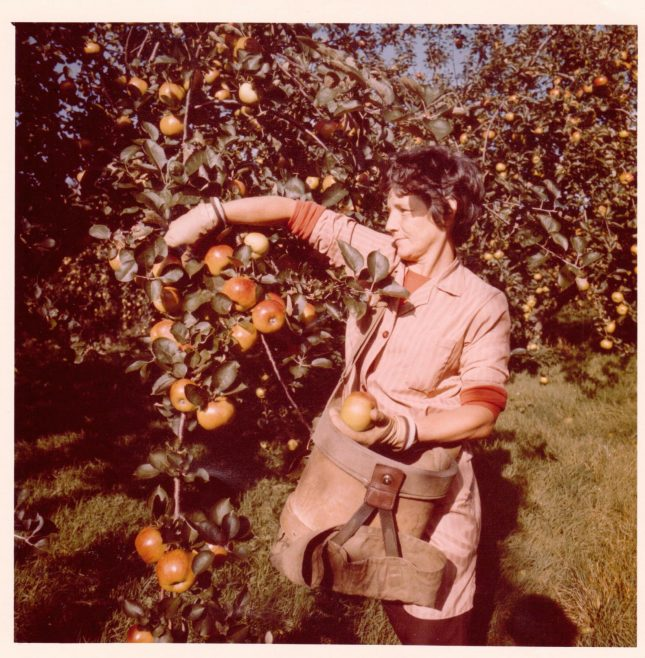 Leckford Partner picking apples 1980 | John Lewis Partnership archive collection