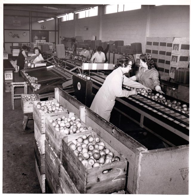 Leckford Partners apple sorting 1976 | Tarlton